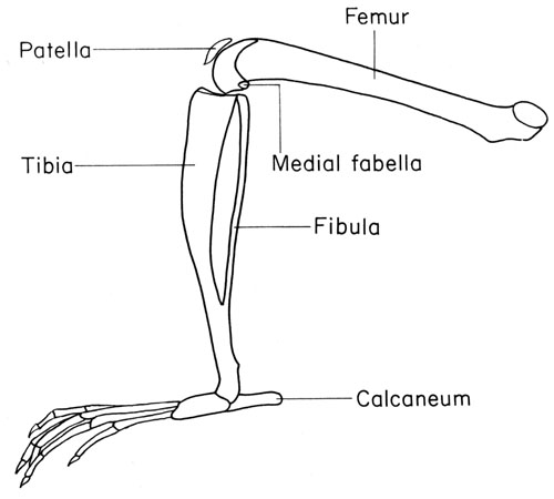 What Isnt Oviraptor further Human Anatomy Fundamentals How To Draw Feet Cms 21733 moreover 52 Parts Of Skeletal Of Body additionally Label Parts Of A Bone Worksheet Anatomy Of A Long Bone Worksheet Long Bone Labeled Human Anatomy 2 in addition Anteriorposterior And Ventraldorsal. on foot skeleton diagram