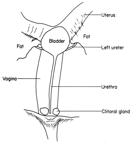 Anatomy bladder female