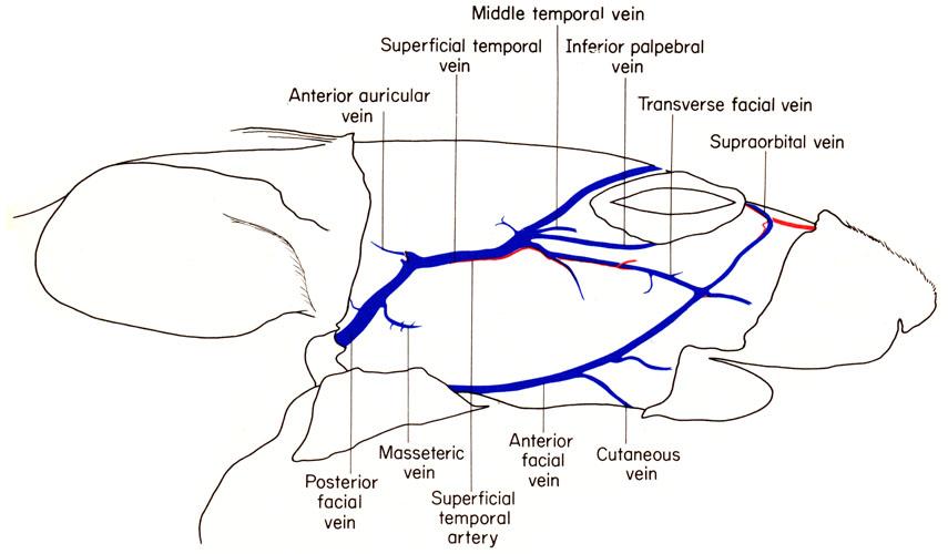 Mouse head anatomy