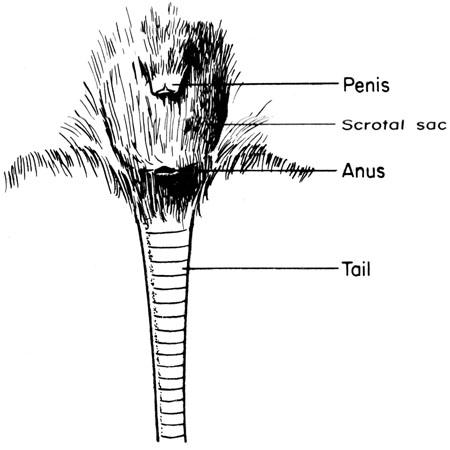 Male external genitalia anatomy - photo#47