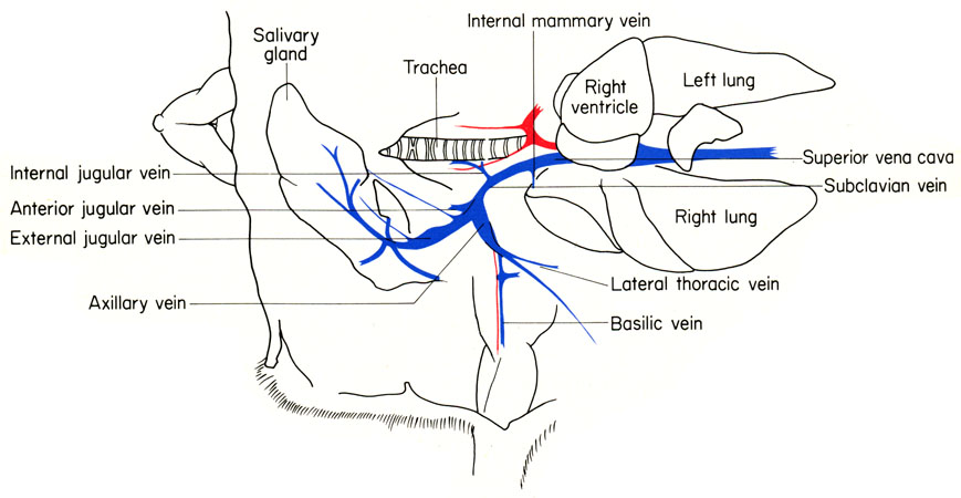 mouse subclavian