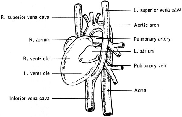 Mouse Aorta Heart Diagram - Block And Schematic Diagrams •