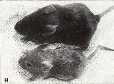 Biology of the Laboratory Mouse - Figure 8-1